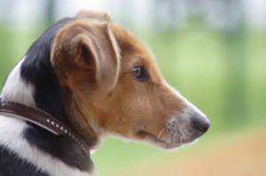 Jack Russel Terrier - Hunderasse