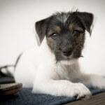 Hundewelpe - Weiß mit braunen Kopf