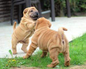 Hundewelpen beim Spielen
