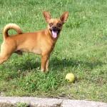 Kleiner Hund mit einem Ball