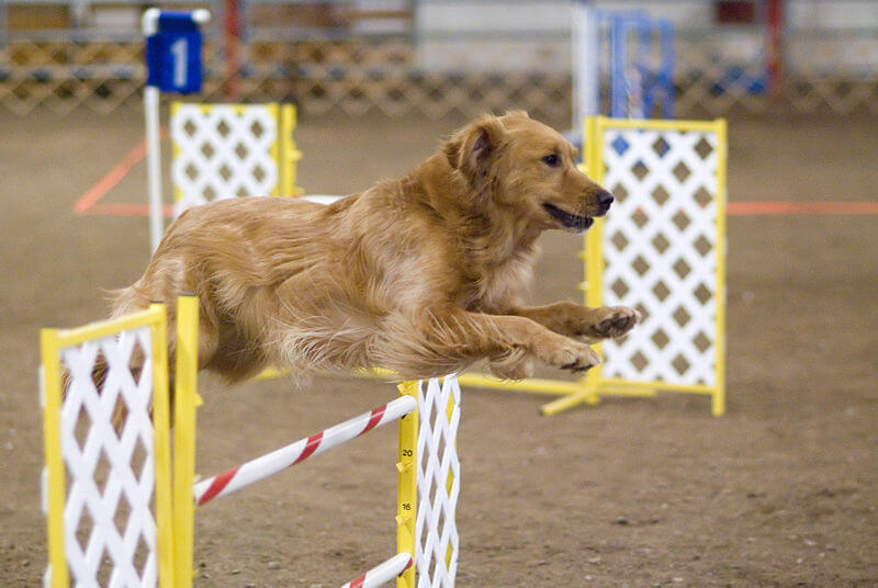 800px-Golden_Retriever_agility_jump
