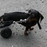 handicap Hund